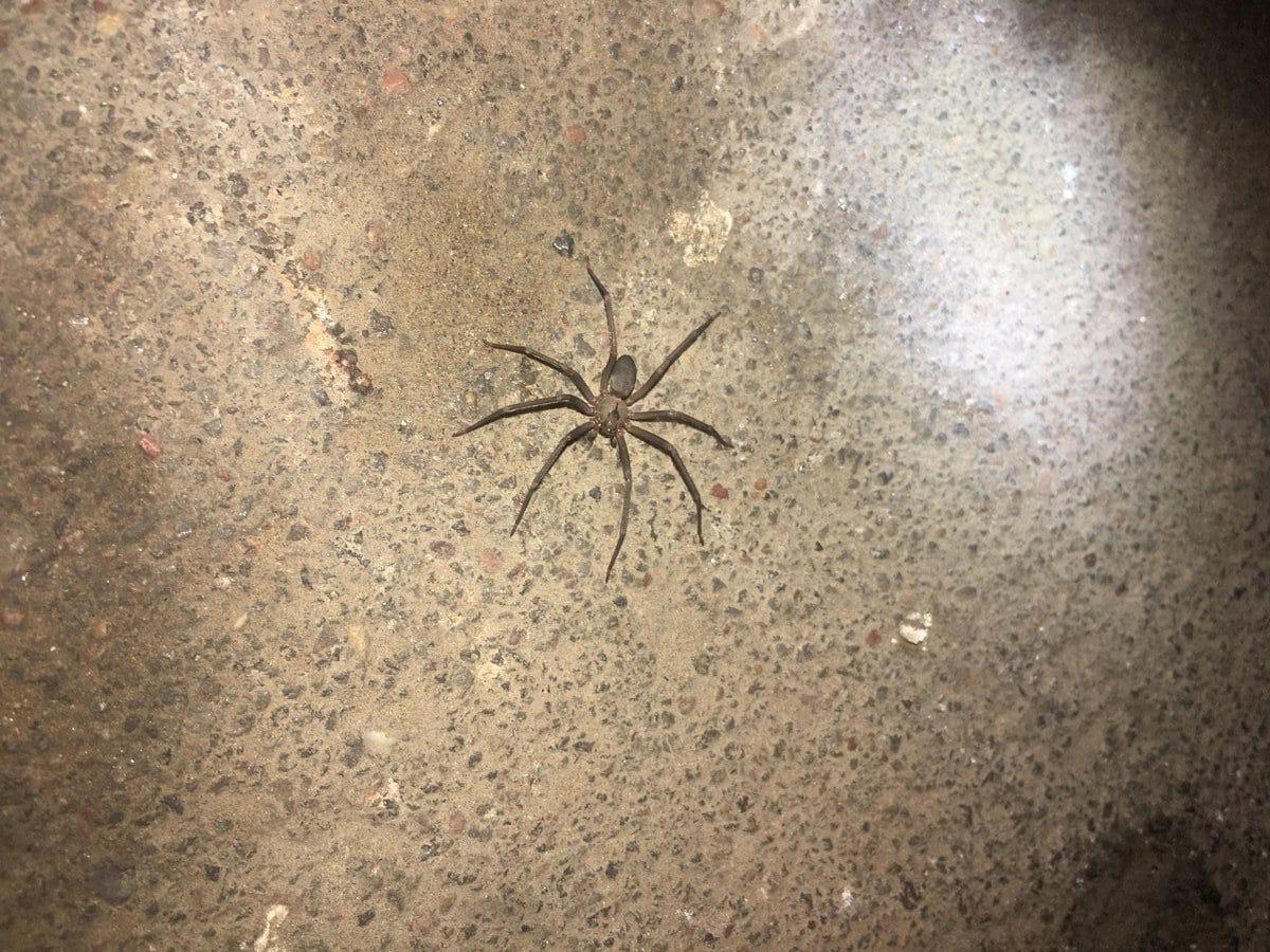En épocas de calor aumenta proliferación de arañas violinistas