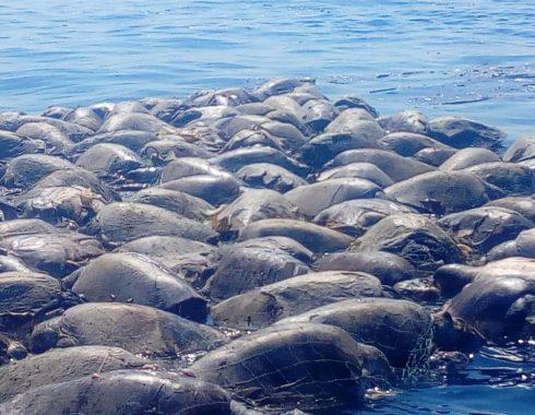 Mueren 300 tortugas al quedar atrapadas en redes de barcos atuneros