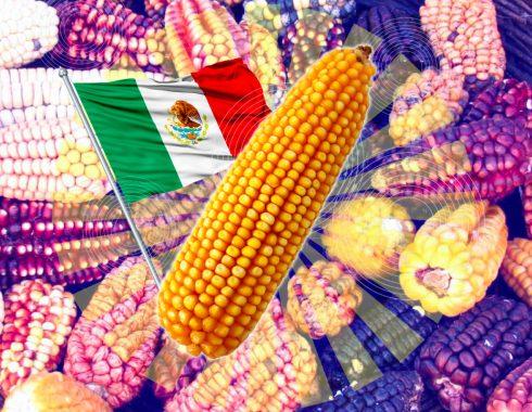 La ley del maíz nativo